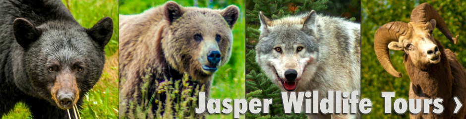 Jasper Wildlife Tours